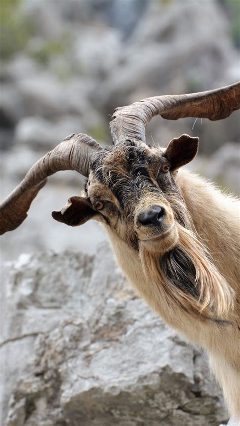 Goat Wallpapers (64+ images)