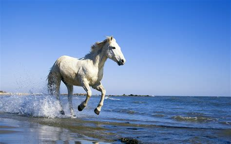 Camargue White Horse Wallpapers   HD Wallpapers   ID #10476