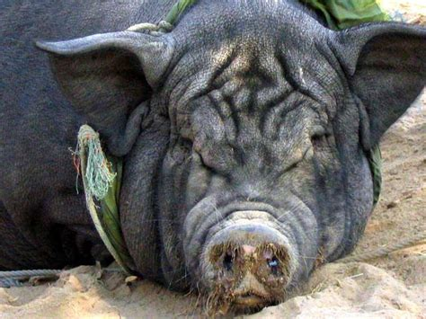 18 best images about Animals: Pigs on Pinterest   Comedy